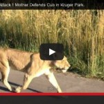 Kruger National Park Lion Attack! Mother Defends Cub in Kruger Park